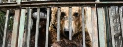 Albania | Elbasan | 2019 04 03 | The brown bear Rocco is kept in a tiny cage on a private estate in city Elbasan/ Albania.
