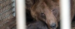 Ukraine, Lviv Region | 2019 10 | Dasha and Lelya, two female Brown Bears, born in 2006, are transfered 130 km from not operating hotel and restaurant in Skole to BEAR SANCTUARY Domazhyr.