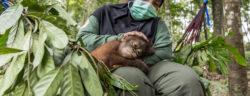 """Indonesia, Borneo, East Kalimantan   2017 08 02   A FOUR PAWS team and the Indonesian partner organization Jejak Pulang have taken an orphaned orangutan baby from the Indonesian authorities into their care. The orangutan baby named """"Gonda"""" is the first orphan who can move into the new orangutan forest school. Here with caretaker Ipeh."""